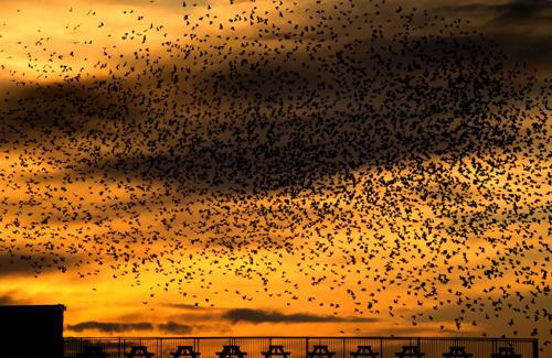 찌르레기 새떼의 멋진 군무