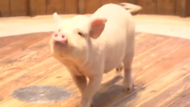 난 돼지의 탈을 쓴 강아지입니다