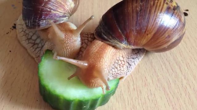 달팽이 두 마리 먹성에 깜짝