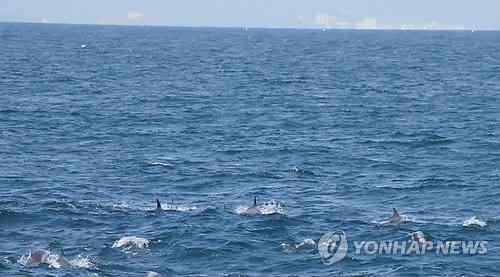 참돌고래떼 500