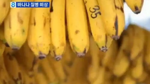 바나나 전염병 확산 '캐번디시 너마저' 충격