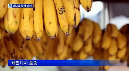 바나나 전염병, 파나마 병 확산..멸종 위기 '백신 개발 시급'